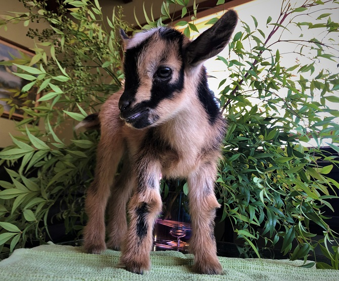 Nigerian Dwarf Baby Goats For Sale In California Miniature Dairy Goats Ca